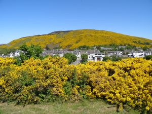 Gorse in flower at Helmsdale
