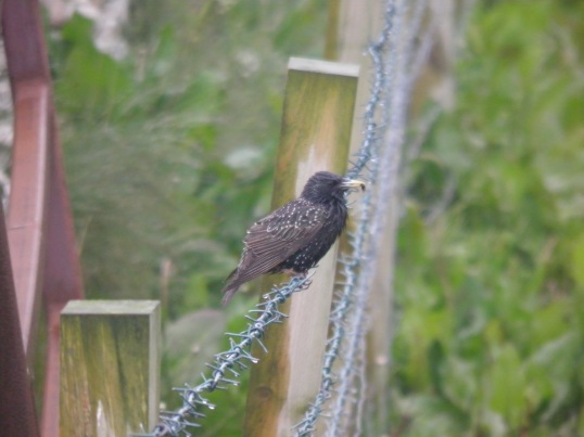 Bedraggled starling parent