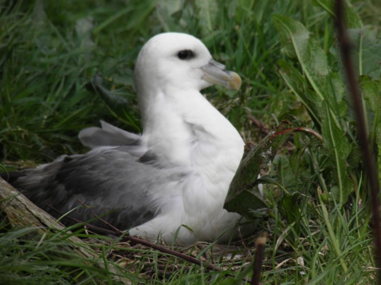 Fulmar on its nest