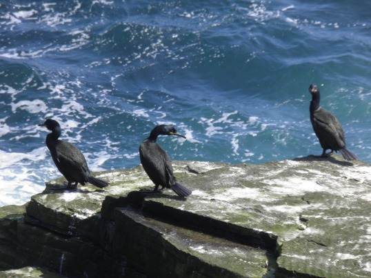 Shags on the rocks at Fowl Craig