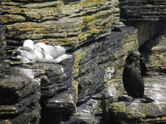 Fulmar pair and a shag