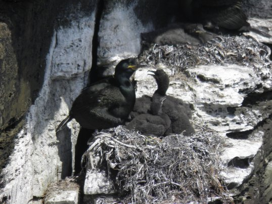 Shag parent with chicks