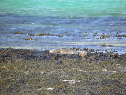 Seals on the east coast of Papay