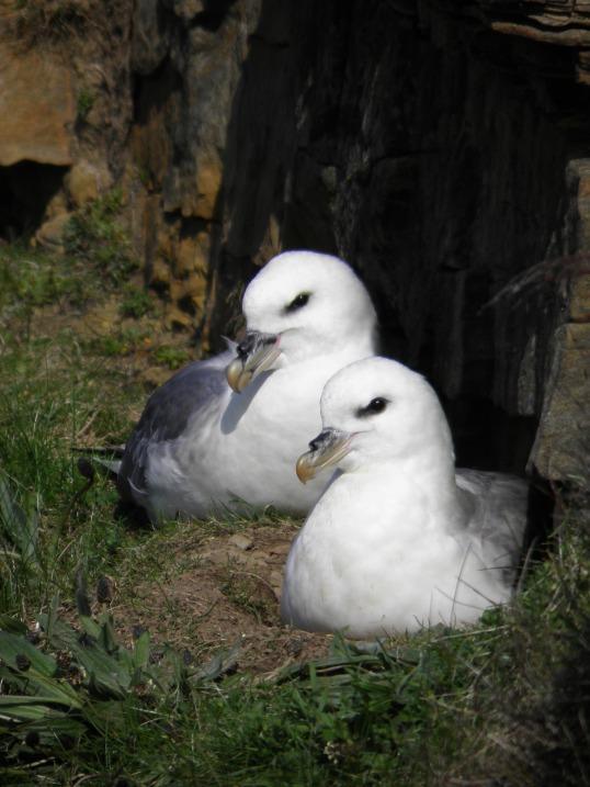 Fulmars nesting