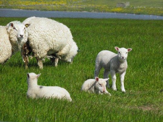 Lambs near loch of St Tredwell