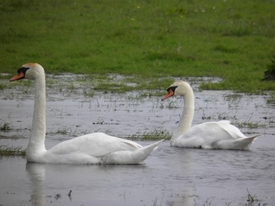 Mute swans on the farmland