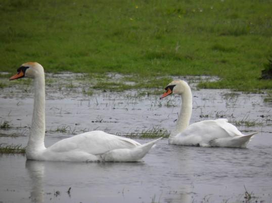 Mute swans on the farmland
