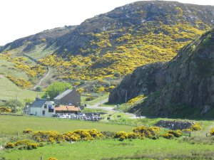 Gorse in bloom above Bettyhill