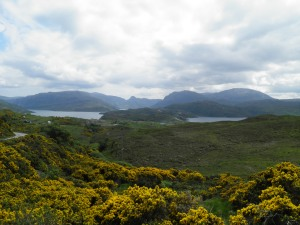 Gorse in bloom north of Kylesku bridge