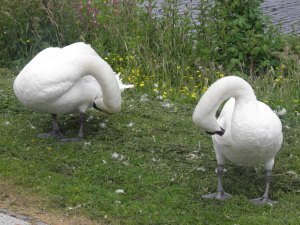 Swans by the canal