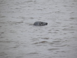 Grey seal in the Ythan river