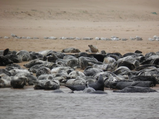 Seals hauled up on the beach at Newburgh