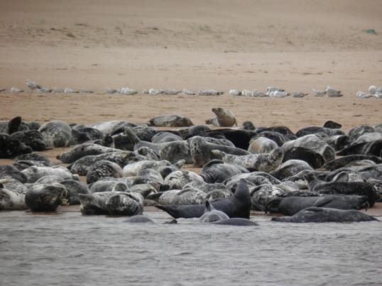 Seals hauled up on the beach at Newburgh