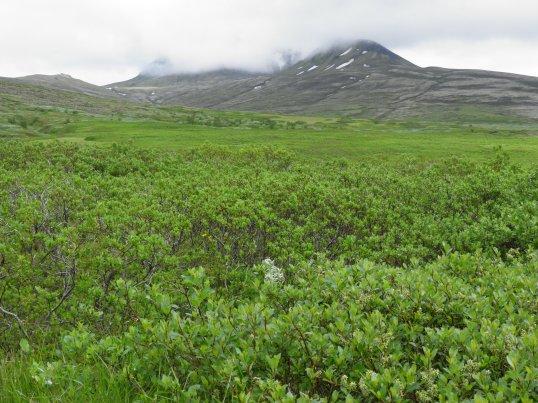 Walking through the alpine bushes
