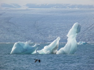 Duck in front of iceberg in front of glacier
