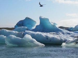 Arctic tern flying over icebergs