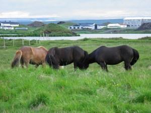 Icelandic ponies near Skútustaðir