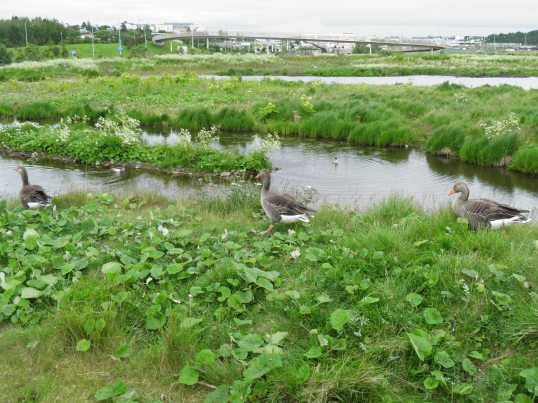 Reykjavik wetlands