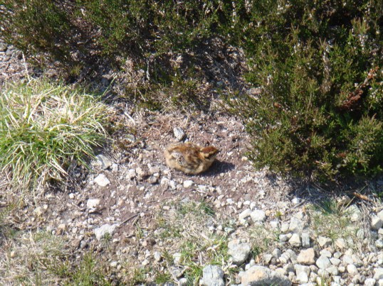 Red Grouse (chick)