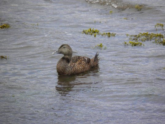 Eider duck (female)