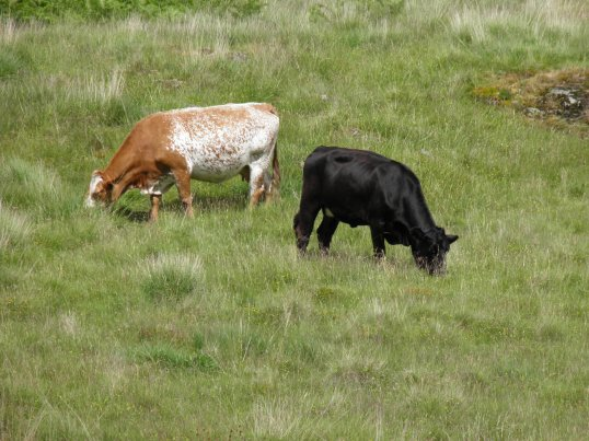Cows next to the WHW