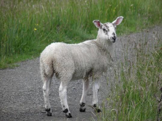 Lamb walking the WHW