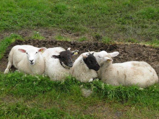 Lambs at Kirkton farm