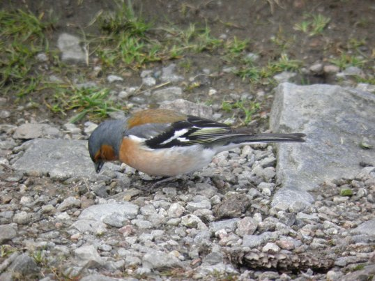 Chaffinch on the WHW