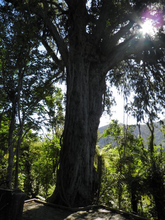Sun sparkling through the branches of a rimu tree