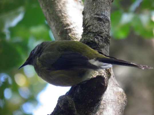 Bellbird in the canopy