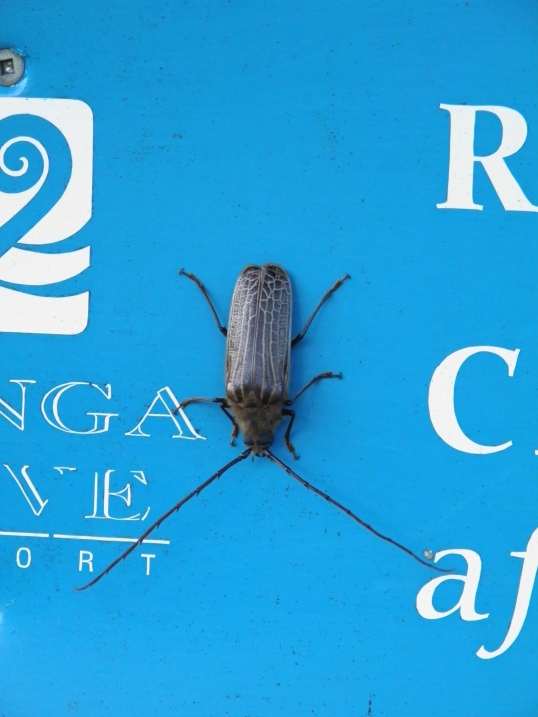 Giant bug at Punga Cove